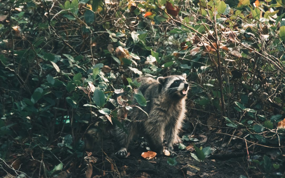 When Camping Outdoors Do Raccoons Attack Tents?