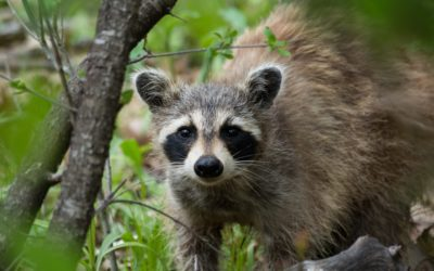 Does Human Urine Keep Raccoons Away?