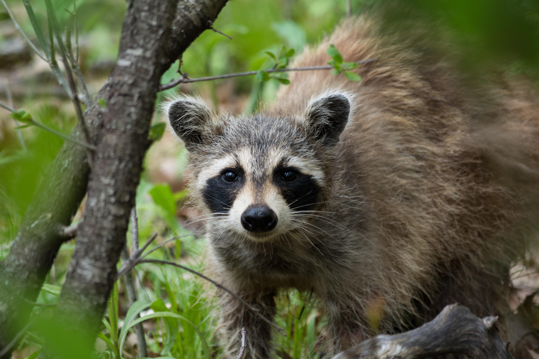 Does Human Urine Keep Raccoons Away Rogue Survival